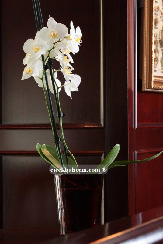 Çift Dal Beyaz, Point Orkide