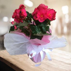 Anneler Günü Özel Begonya Çiçeği