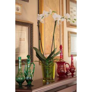 Çift Dal Beyaz, Classic Orkide