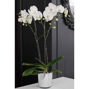 Çift Dallı Beyaz, Cambridge Orkide