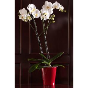 Çift Dal Beyaz, Red&Red Orkide
