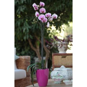 Çift Dal Pembe, Lovely Orkide