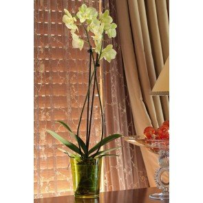 Çift Dal Sarı, Avangarte Orkide