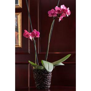 Çift Dal Mor, Maon Orkide